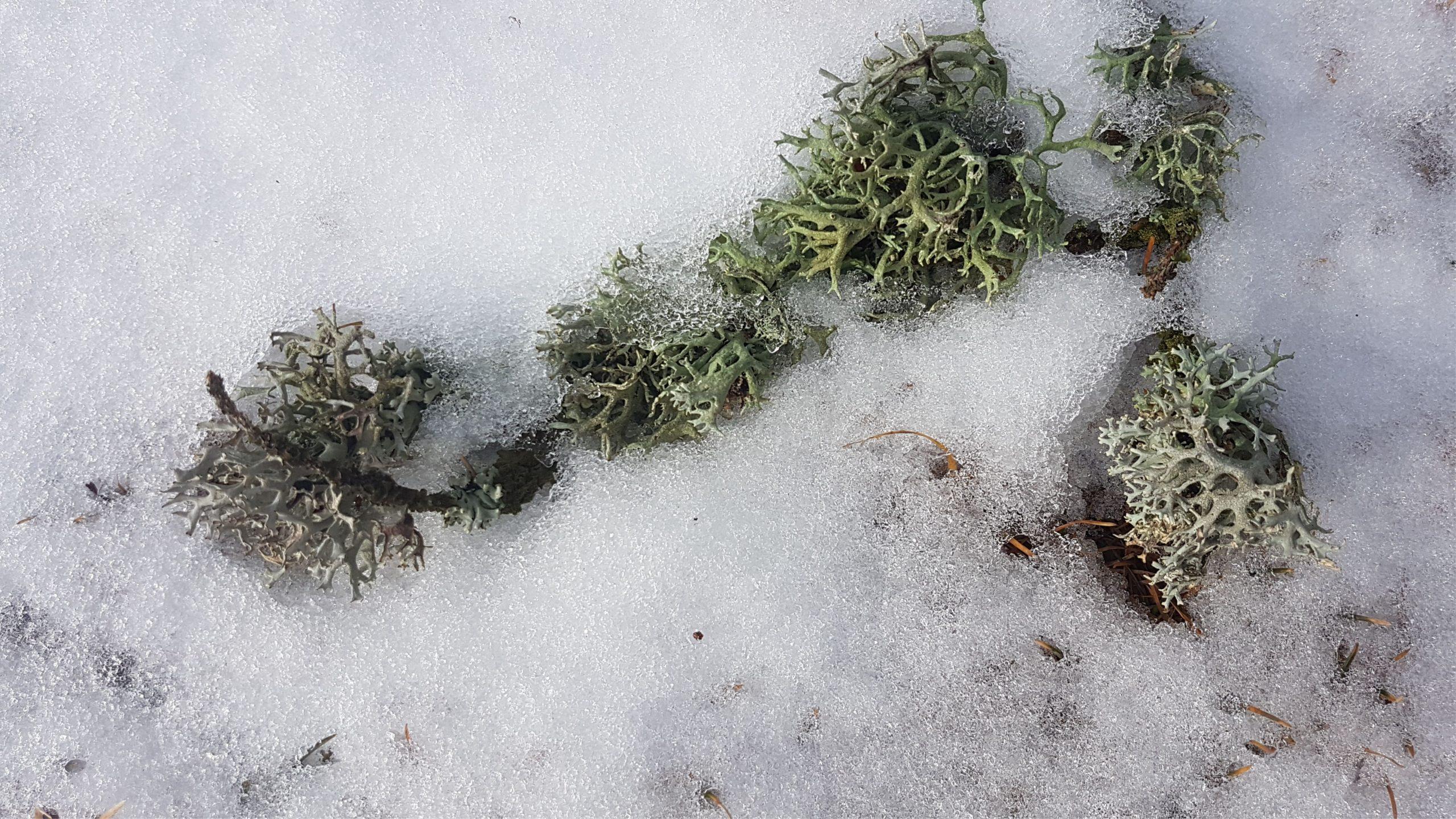 Flechte auf Schnee k